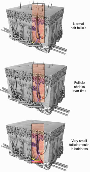 Hair follicle. Anatomy of hair follicle.