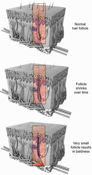 Hair follicle. Anatomy of hair follicle.
